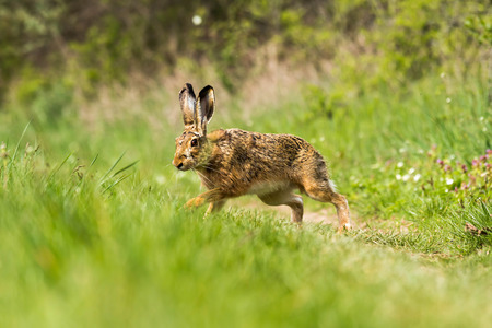 European hare  Lepus europaeus  on the green field