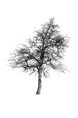 allegory: Single European Wild Pear tree  isolated on white background