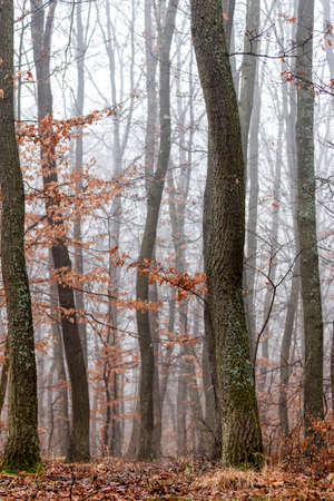 Oak forest at the autumntime in a foggy day photo