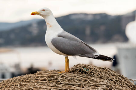 gracefully: Seagull gracefully poses for a photo  Stock Photo
