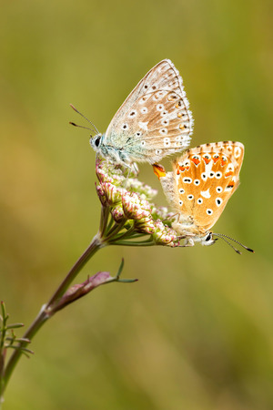 polyommatus: Close up of a beautiful butterflies (Common Blue,Polyommatus icarus)
