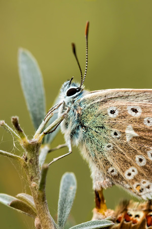 polyommatus icarus: Close up of a beautiful butterfly(Common Blue,Polyommatus icarus) Stock Photo