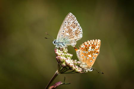 polyommatus icarus: Close up of a beautiful butterflies (Common Blue,Polyommatus icarus)
