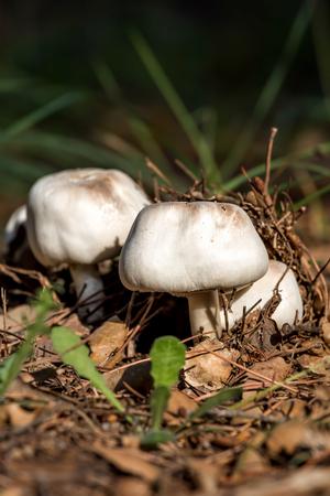 agaricus: Agaricus mushrooms in the litter