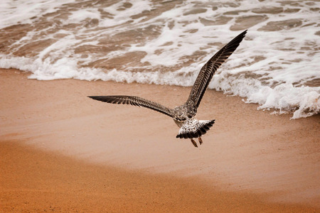 Young seagull flying over the sea sand photo