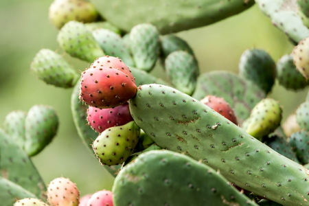 Ripe Prickly pair cactus and fruit