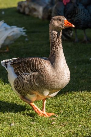 fabalis: Bean goose (Anser fabalis) close up