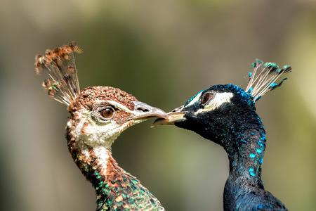 indian peafowl: Two loveley blue peafowl (Pavo cristatus) Stock Photo