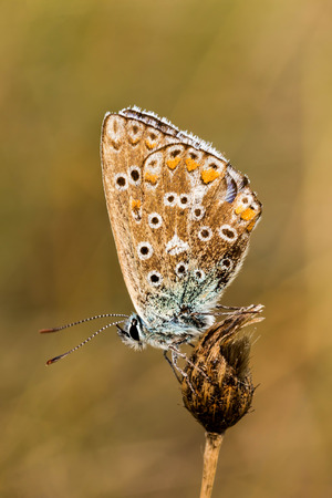 polyommatus icarus: Close up of a beautiful butterfly (Common Blue,Polyommatus icarus) Stock Photo