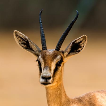 springbuck: Antelope portrait in the zoo