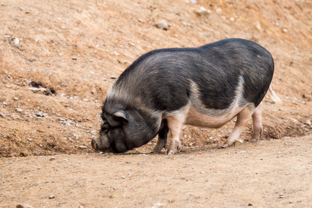 bellied: Pot-bellied pig looking for food Stock Photo