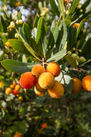 strawberry tree: Strawberry tree o cane apple (Arbutus unedo) fruits Stock Photo