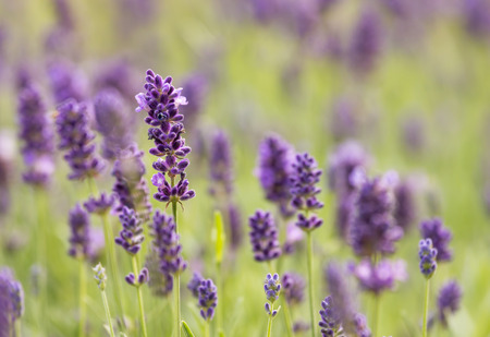 french perfume: Close up of lavender