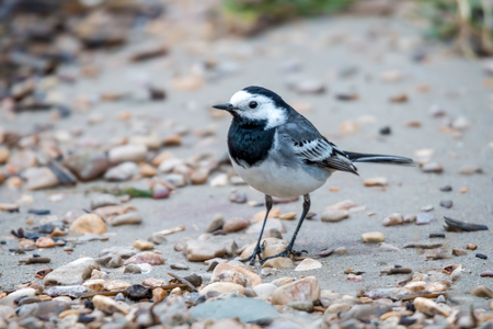 motacilla: Close up of white wagtail Motacilla alba