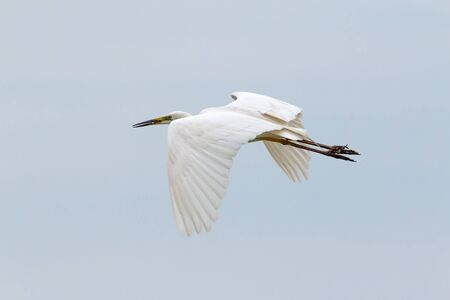 egret: Great White Egret flying Stock Photo