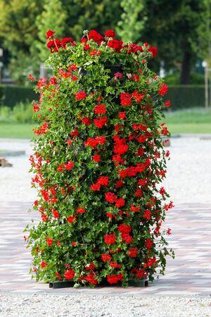 geranium color: Beautiful geranium flower Stock Photo
