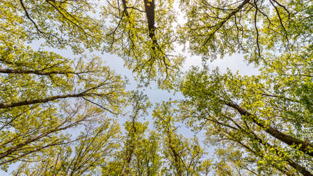 hornbeam: Young forest with oak and hornbeam trees from below Stock Photo