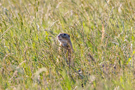 Ground Squirrel (Spermophilus citellus) in the grass photo