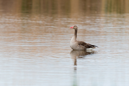 white fronted goose: Anser fabalis Bean Goose Lower rhine family Stock Photo