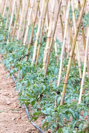 biologic: Typical tomato bush in a Garden of Spain Stock Photo