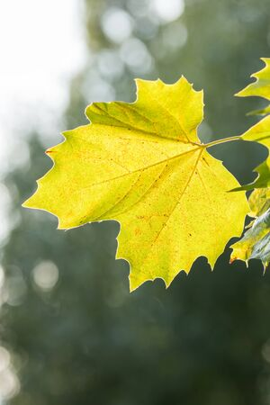 sycamore leaf: Photo of a yellow sycamore leaf in autumn