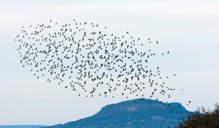 natural force: Team of starlings flying