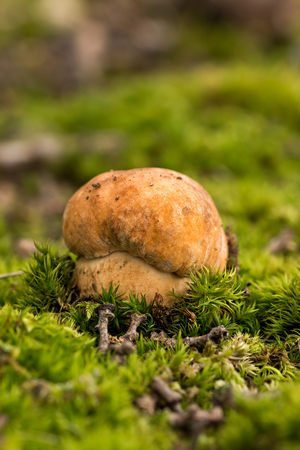 fungi: Porcini fungi on the moss (Boletus edulis)