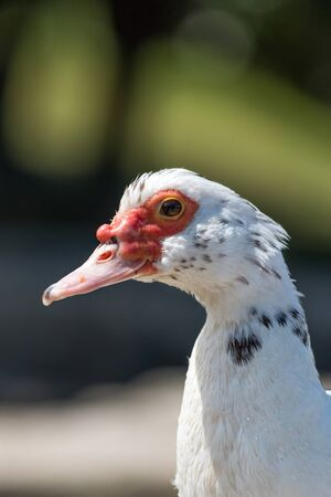 muscovy duck: Muscovy duck portrait