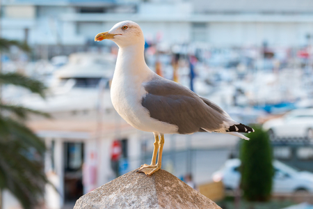 webbed: Seagull close up Stock Photo