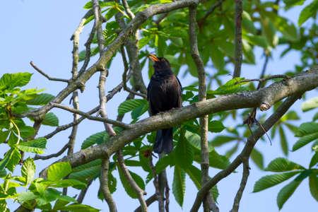 turdus: Common blackbird Turdus merula on the brach