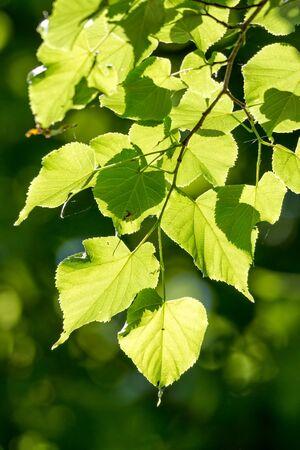 tilia: Linden, Small-leaved Lime Tilia cordata leaves
