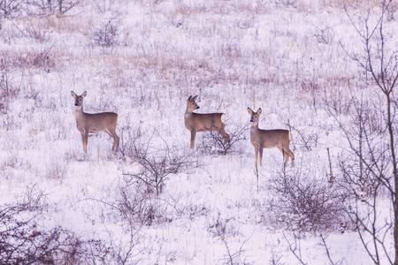 capreolus: Roe deers in winter meadow Capreolus capreolus