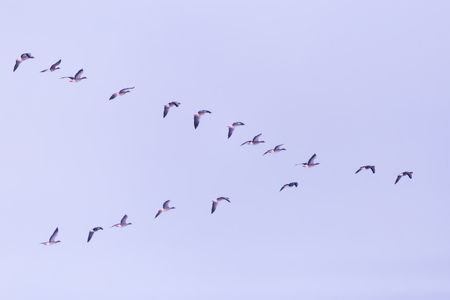 migrating: Flock of migrating bean geese flying in v-formation.