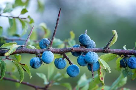 Sloe bush with many fruits Archivio Fotografico