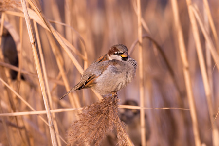domesticus: Young male sparrow (Passer domesticus) in reed Stock Photo