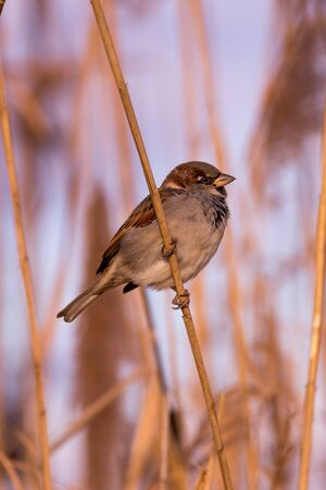 passer by: Young male sparrow (Passer domesticus) in reed Stock Photo