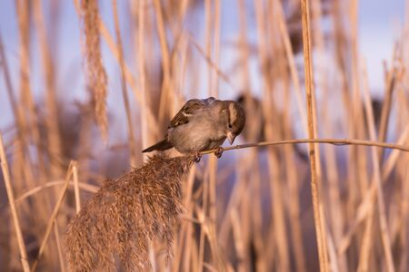 domesticus: Young female sparrow (Passer domesticus) in reed
