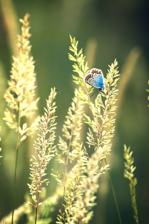 icarus: Beautiful butterfly (Common Blue,Polyommatus icarus) on the grass (Calamagrostis)
