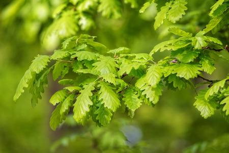 quercus: Green irish oak leaves (Quercus petraea)