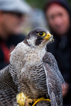 peregrine falcon: Peregrine Falcon (Falco peregrinus). These birds are the fastest animals in the world.