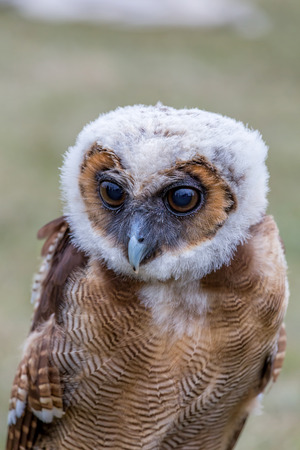 spotted: Young Brown Spotted Owl