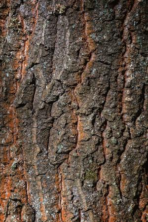 quercus: Old oak tree trunk close up (Quercus robur)