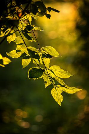 Beautiful, harmonious forest detail, with Cornelian cherry leaves (Cornus mas)