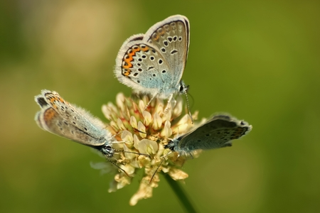 Close up of a beautiful butterfly (Common Blue,Polyommatus icarus) Stock Photo
