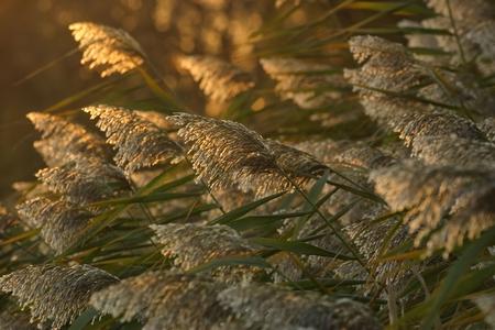 Phragmites, or common reed (phragmites communis) in the sunset light Stock Photo