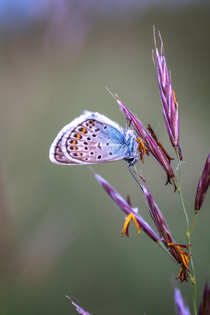 lycaenidae: Close up of a beautiful butterfly (Common Blue,Polyommatus icarus) Stock Photo