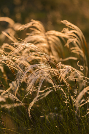 Close up of the stipa plant in the wonderful sunset light