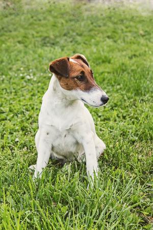 Jack Russel Terrier resting in a field Stock Photo