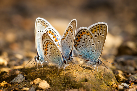 Many pretty gossamer-winged butterflies resting together