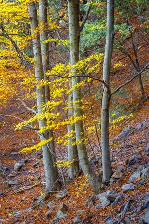 Beautifal autumn beech forest en mountain Montseny in Spain Standard-Bild